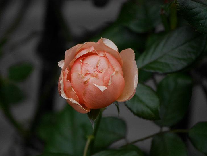 真宙(Masora)の2番花が咲いた。半ツルバラ。2020年-009.jpg
