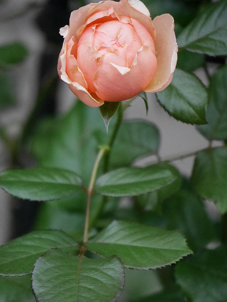 真宙(Masora)の2番花が咲いた。半ツルバラ。2020年-010.jpg
