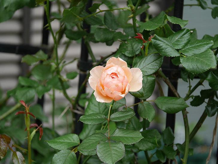 真宙(Masora)の2番花が咲いた。半ツルバラ。2020年-011.jpg