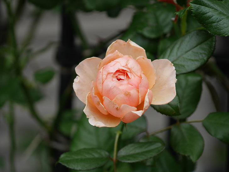 真宙(Masora)の2番花が咲いた。半ツルバラ。2020年-012.jpg