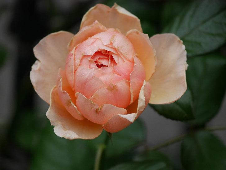 真宙(Masora)の2番花が咲いた。半ツルバラ。2020年-013.jpg