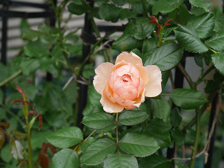 真宙(Masora)の2番花が咲いた。半ツルバラ。2020年-014.jpg