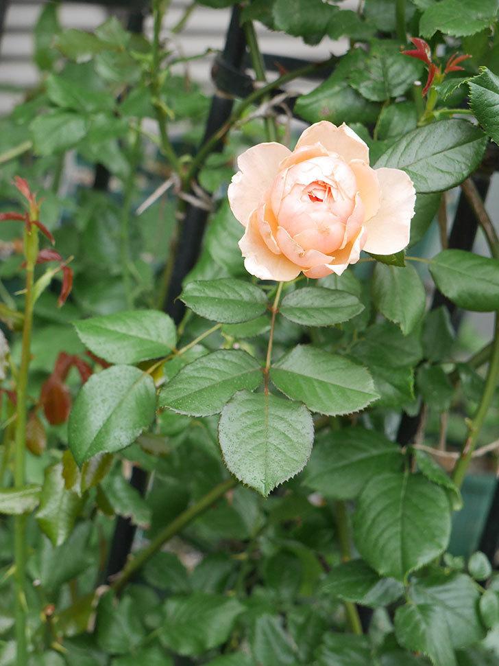 真宙(Masora)の2番花が咲いた。半ツルバラ。2020年-015.jpg