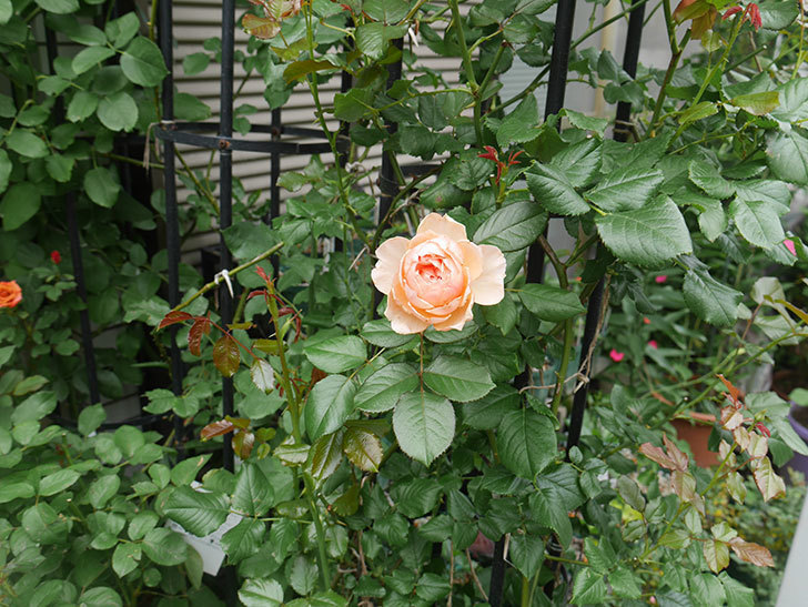 真宙(Masora)の2番花が咲いた。半ツルバラ。2020年-017.jpg