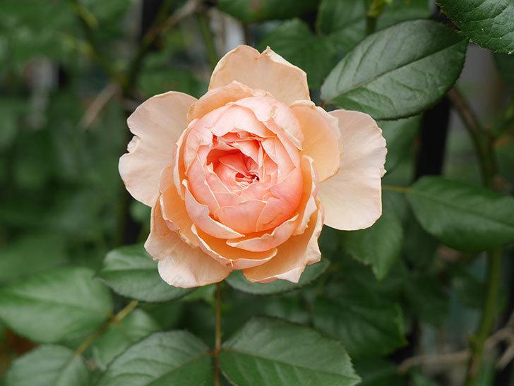 真宙(Masora)の2番花が咲いた。半ツルバラ。2020年-018.jpg