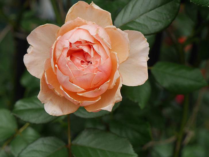 真宙(Masora)の2番花が咲いた。半ツルバラ。2020年-019.jpg
