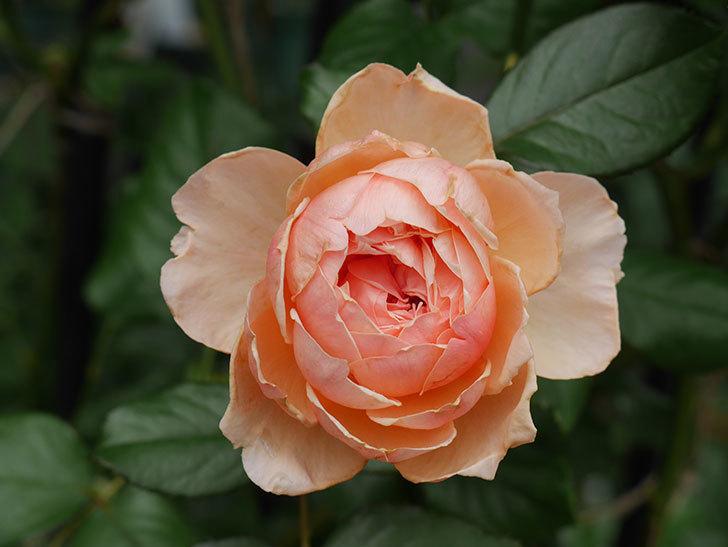 真宙(Masora)の2番花が咲いた。半ツルバラ。2020年-020.jpg