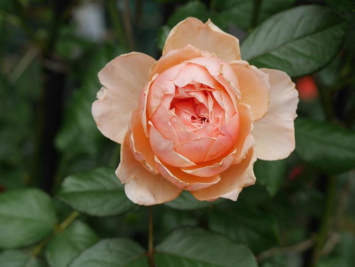 真宙(Masora)の2番花が咲いた。半ツルバラ。2020年-021.jpg