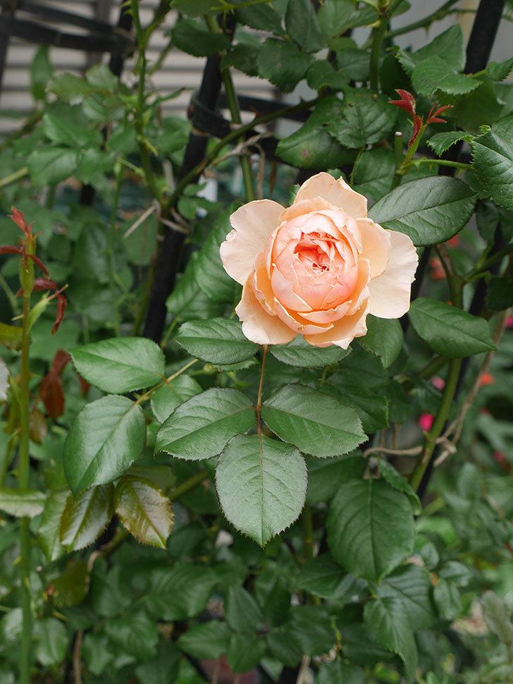 真宙(Masora)の2番花が咲いた。半ツルバラ。2020年-023.jpg