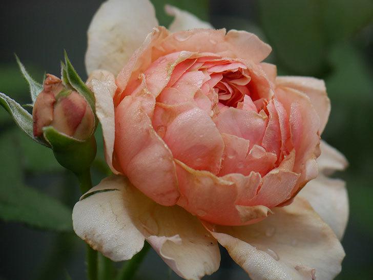 真宙(Masora)の2番花が増えてきた。半ツルバラ。2020年-001.jpg