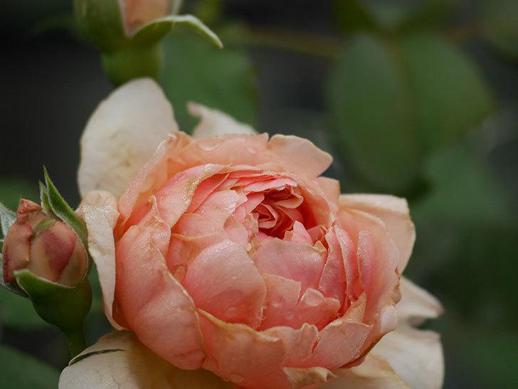 真宙(Masora)の2番花が増えてきた。半ツルバラ。2020年-002.jpg
