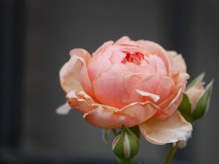 真宙(Masora)の2番花が増えてきた。半ツルバラ。2020年-003.jpg