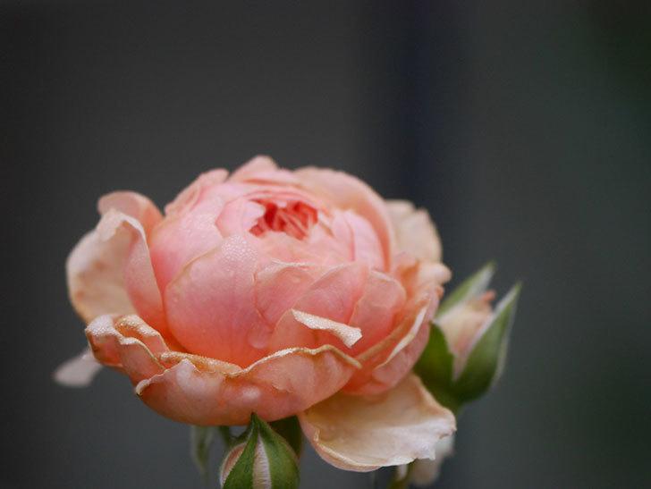 真宙(Masora)の2番花が増えてきた。半ツルバラ。2020年-004.jpg