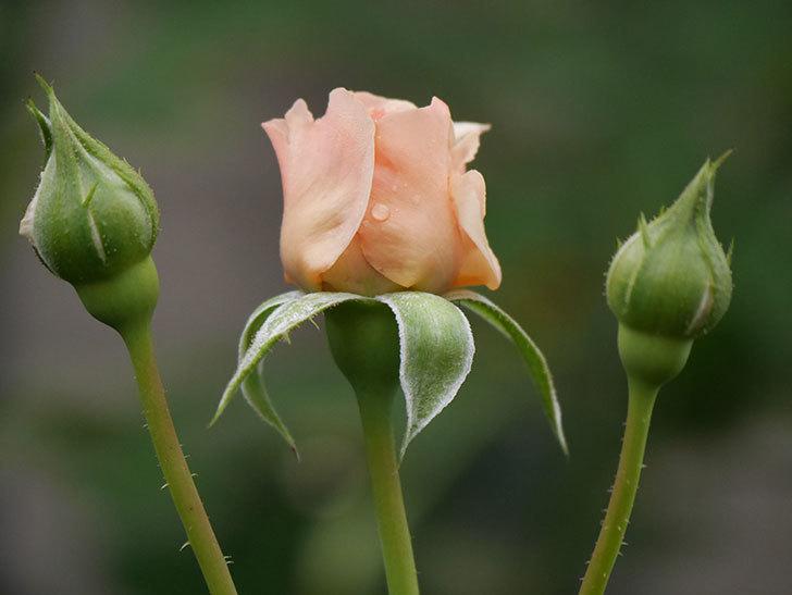 真宙(Masora)の2番花が増えてきた。半ツルバラ。2020年-005.jpg