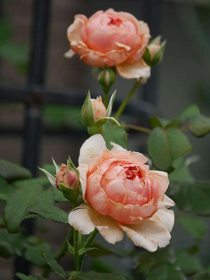 真宙(Masora)の2番花が増えてきた。半ツルバラ。2020年-006.jpg