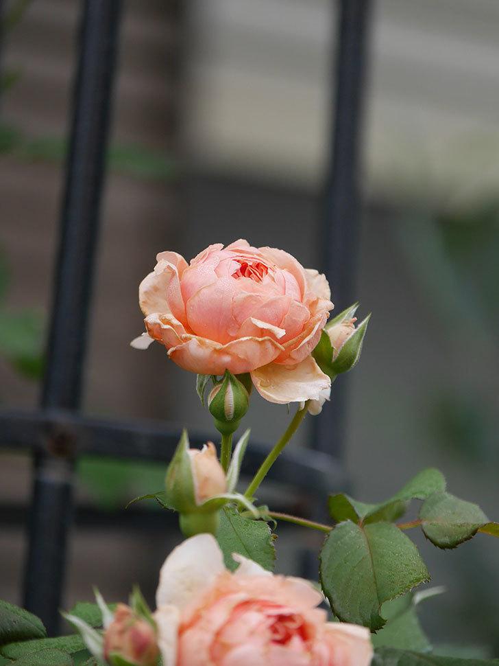 真宙(Masora)の2番花が増えてきた。半ツルバラ。2020年-007.jpg