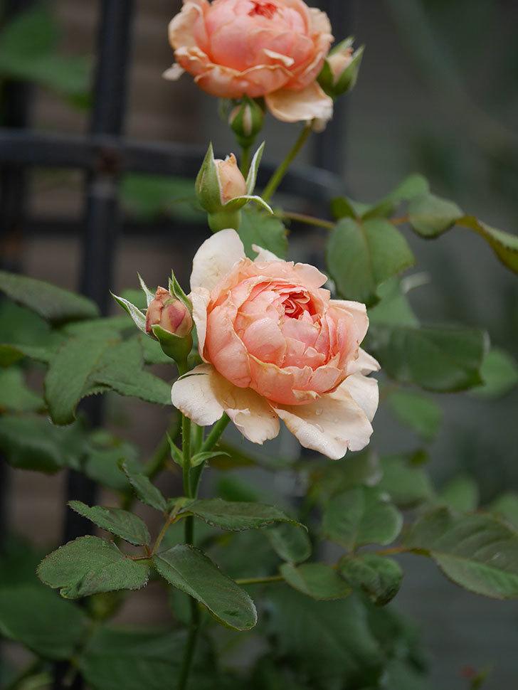 真宙(Masora)の2番花が増えてきた。半ツルバラ。2020年-008.jpg