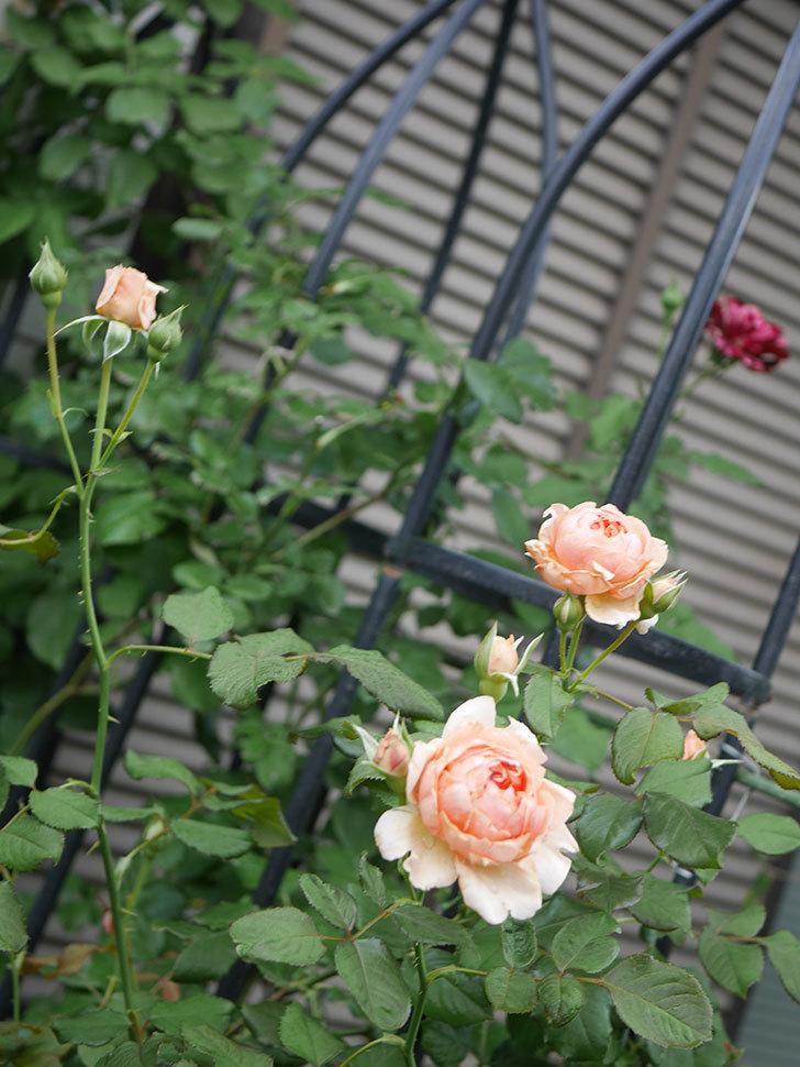真宙(Masora)の2番花が増えてきた。半ツルバラ。2020年-009.jpg