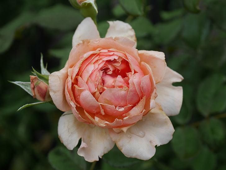 真宙(Masora)の2番花が増えてきた。半ツルバラ。2020年-011.jpg