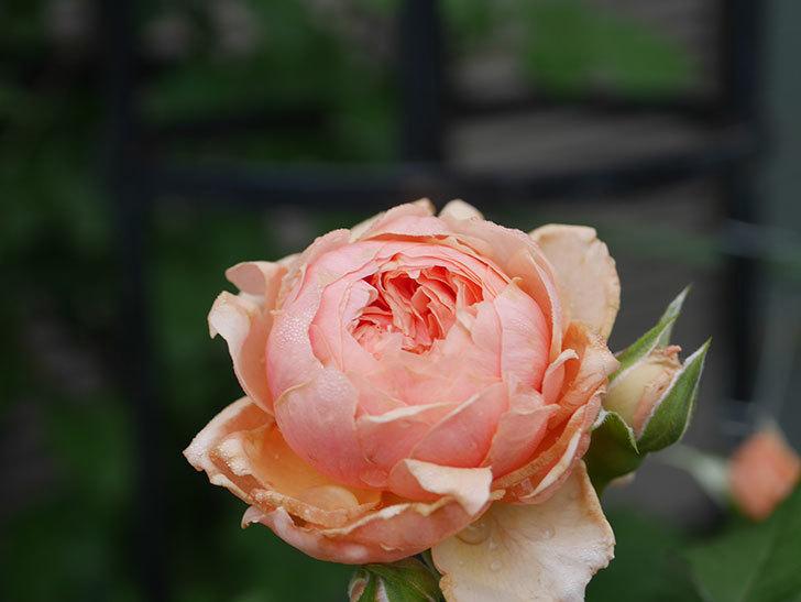 真宙(Masora)の2番花が増えてきた。半ツルバラ。2020年-013.jpg