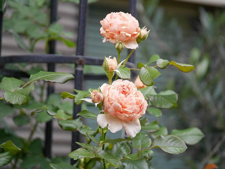 真宙(Masora)の2番花が増えてきた。半ツルバラ。2020年-014.jpg