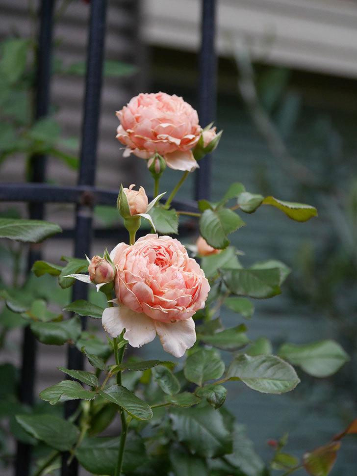 真宙(Masora)の2番花が増えてきた。半ツルバラ。2020年-015.jpg