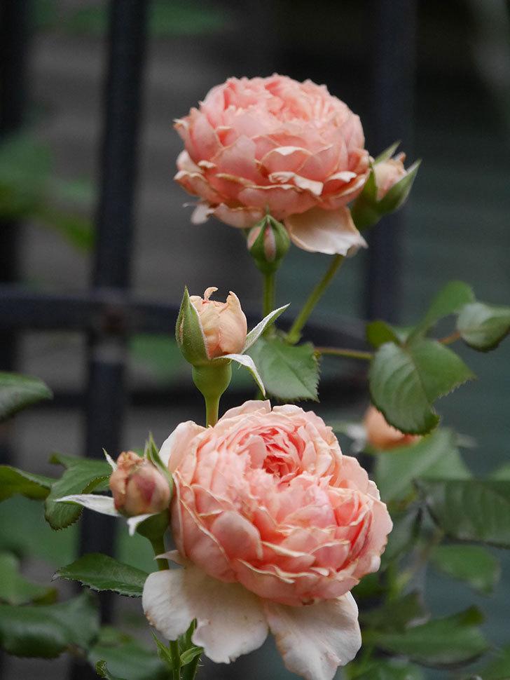 真宙(Masora)の2番花が増えてきた。半ツルバラ。2020年-017.jpg