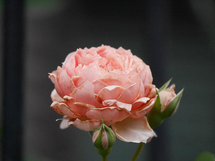 真宙(Masora)の2番花が増えてきた。半ツルバラ。2020年-018.jpg