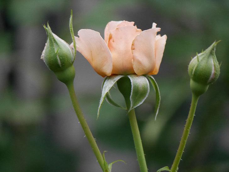 真宙(Masora)の2番花が増えてきた。半ツルバラ。2020年-019.jpg
