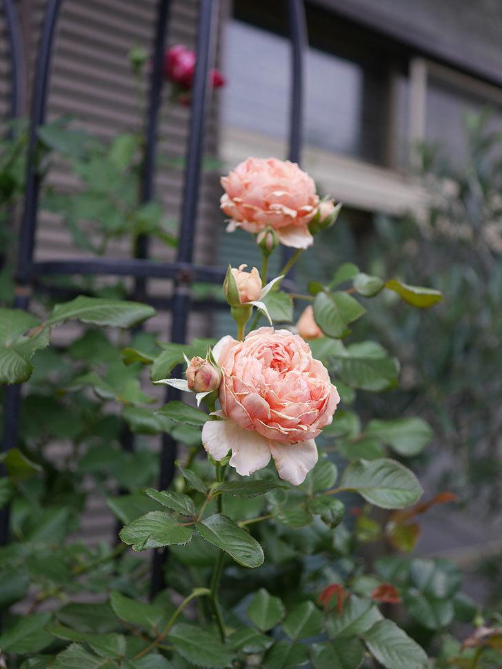 真宙(Masora)の2番花が増えてきた。半ツルバラ。2020年-020.jpg