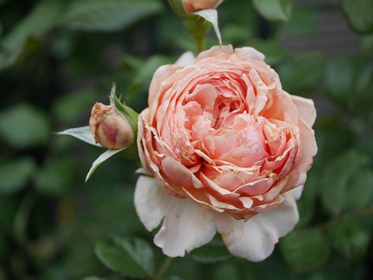 真宙(Masora)の2番花が増えてきた。半ツルバラ。2020年-021.jpg
