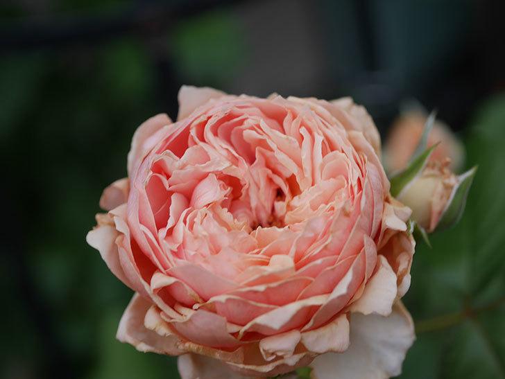 真宙(Masora)の2番花が増えてきた。半ツルバラ。2020年-024.jpg