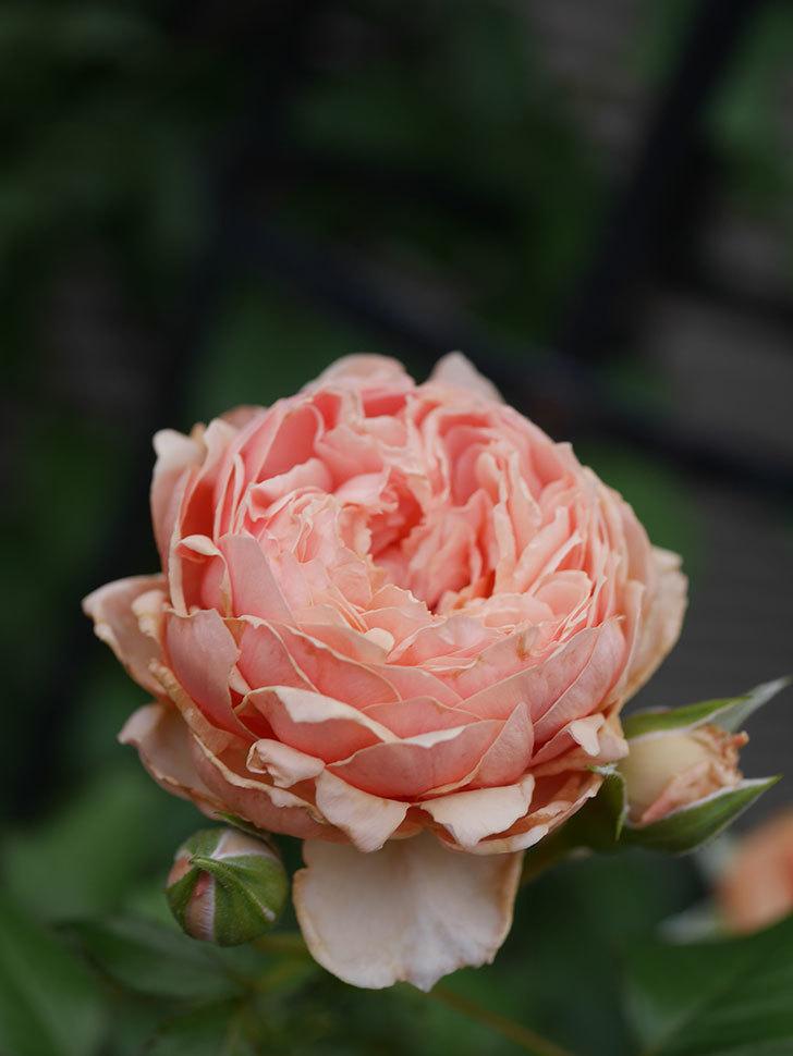 真宙(Masora)の2番花が増えてきた。半ツルバラ。2020年-025.jpg