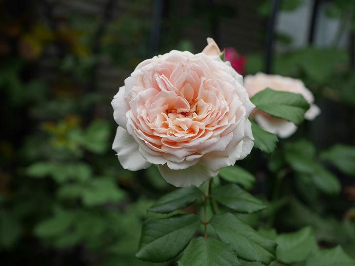 真宙(Masora)の夏花が咲いた。半ツルバラ。2020年-001.jpg