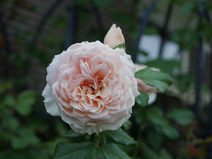 真宙(Masora)の夏花が咲いた。半ツルバラ。2020年-002.jpg