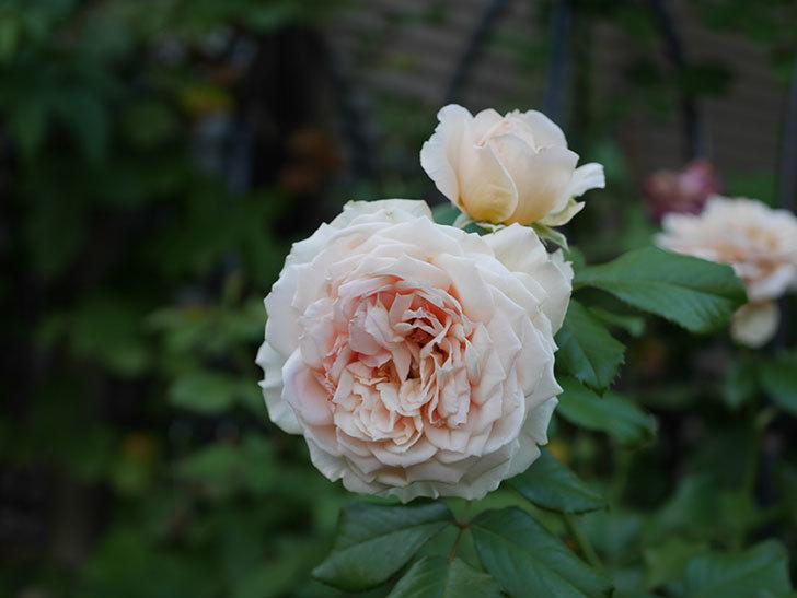 真宙(Masora)の夏花が咲いた。半ツルバラ。2020年-003.jpg