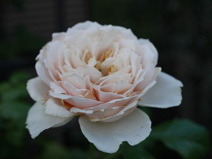 真宙(Masora)の夏花が咲いた。半ツルバラ。2020年-004.jpg
