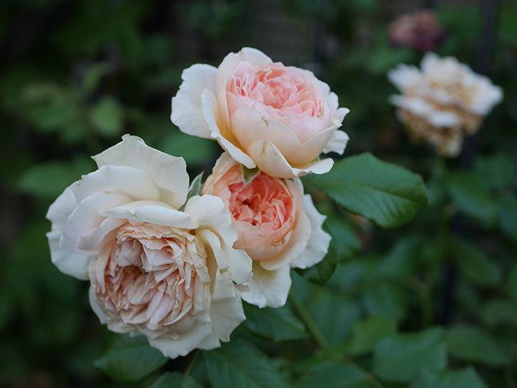真宙(Masora)の夏花が咲いた。半ツルバラ。2020年-005.jpg