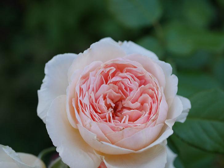 真宙(Masora)の夏花が咲いた。半ツルバラ。2020年-006.jpg