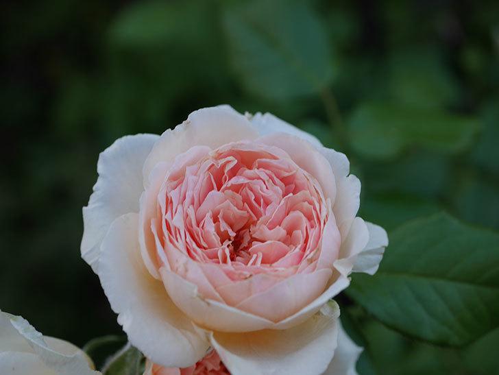 真宙(Masora)の夏花が咲いた。半ツルバラ。2020年-007.jpg
