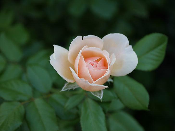 真宙(Masora)の夏花が咲いた。半ツルバラ。2020年-008.jpg