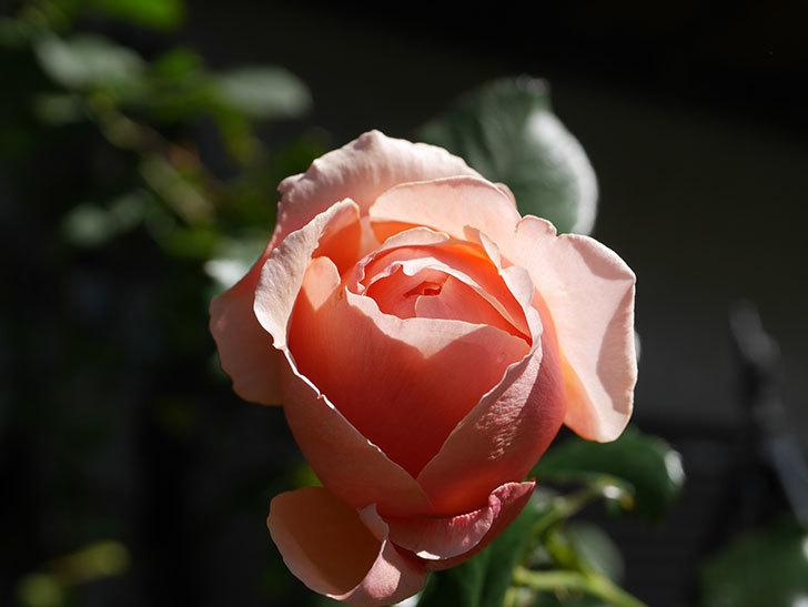 真宙(Masora)の秋花がまた咲いた。半ツルバラ。2020年-001.jpg