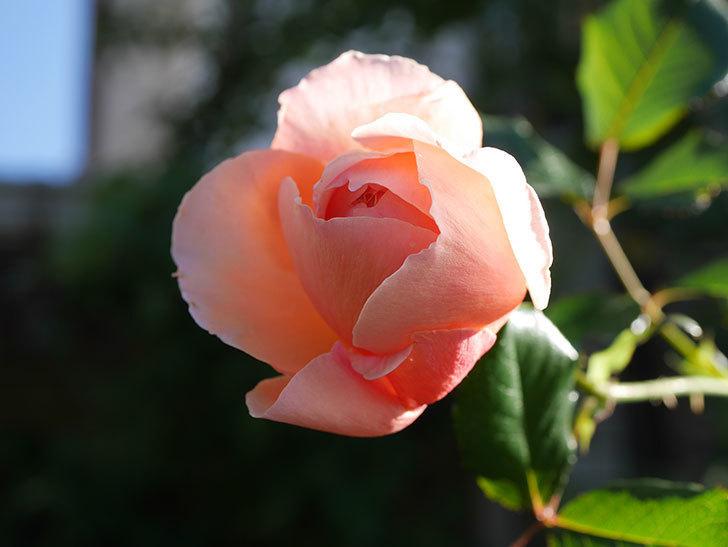 真宙(Masora)の秋花がまた咲いた。半ツルバラ。2020年-003.jpg
