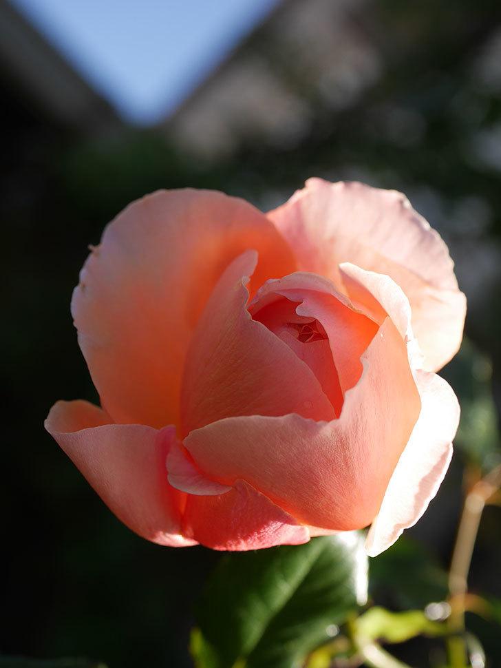 真宙(Masora)の秋花がまた咲いた。半ツルバラ。2020年-004.jpg