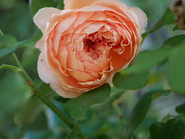真宙(Masora)の秋花がまた咲いた。半ツルバラ。2020年-005.jpg