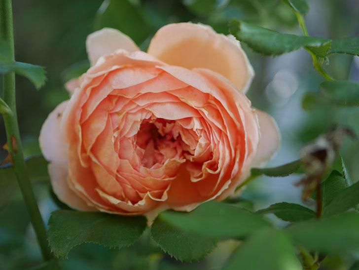 真宙(Masora)の秋花がまた咲いた。半ツルバラ。2020年-007.jpg