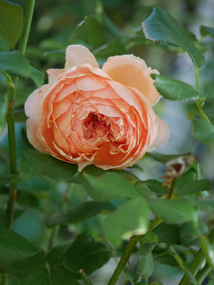 真宙(Masora)の秋花がまた咲いた。半ツルバラ。2020年-008.jpg