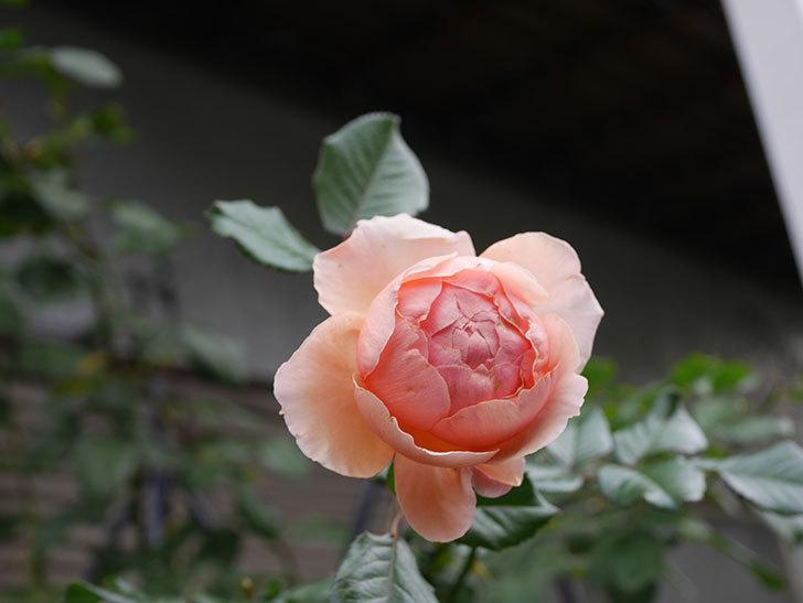 真宙(Masora)の秋花がまた咲いた。半ツルバラ。2020年-009.jpg