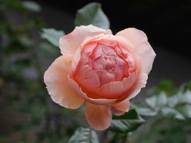 真宙(Masora)の秋花がまた咲いた。半ツルバラ。2020年-010.jpg