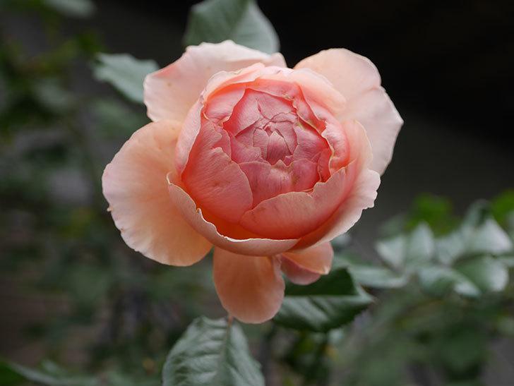 真宙(Masora)の秋花がまた咲いた。半ツルバラ。2020年-011.jpg